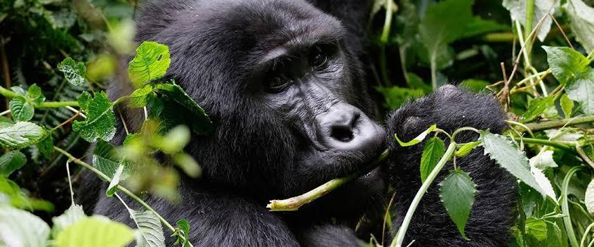 mountain gorilla in bwindi
