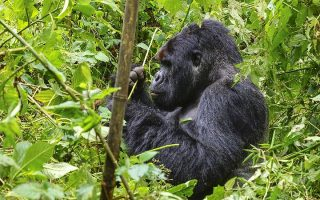 The Great Ape with Nyiragongo Hike Package