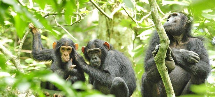 4 Days Gorilla and Chimpanzee Tour