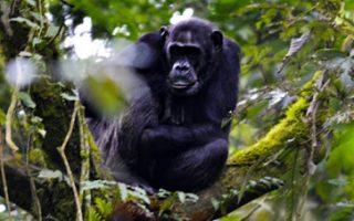 3 Days Nyungwe Chimpanzee Trekking & Canopy walk Safari