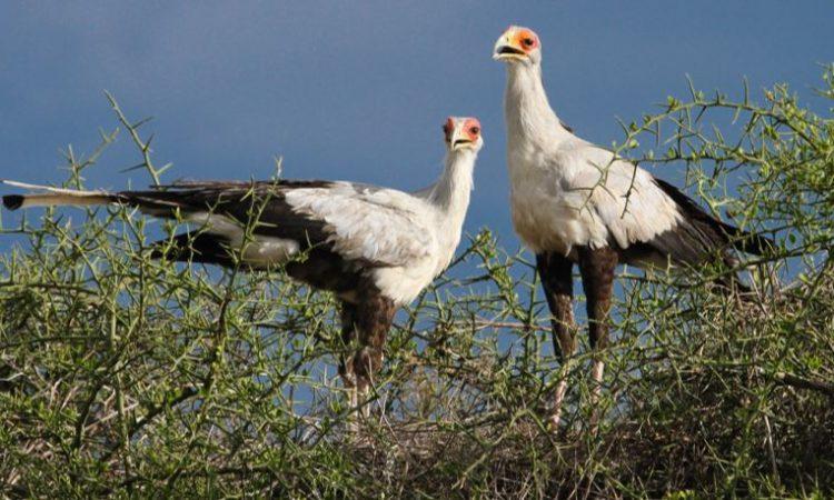 birds of serengeti