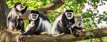 kibale forest monkeys